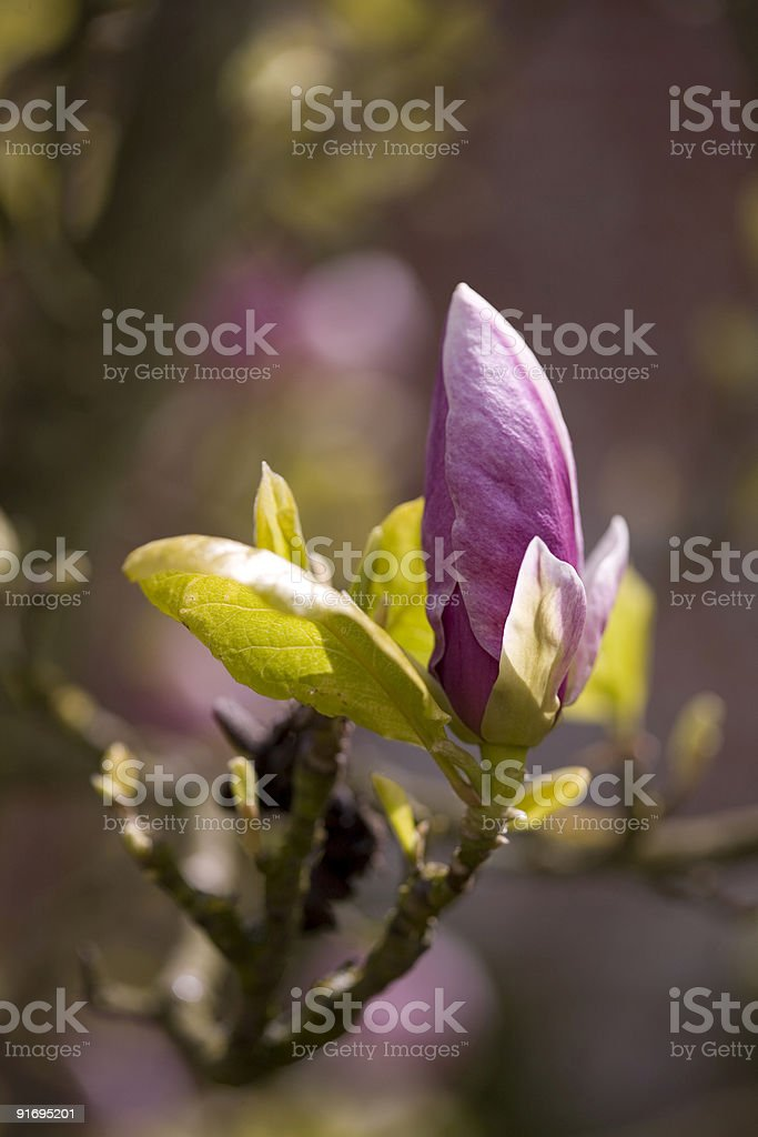 Pink Magnolia tree bud about to bloom royalty-free stock photo
