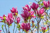 ピンクのマグノリアの木の花の花