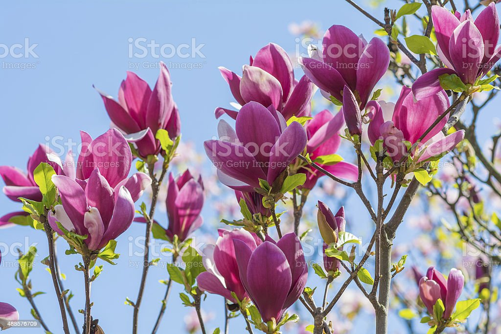 Pink magnolia tree flower blossom stock photo