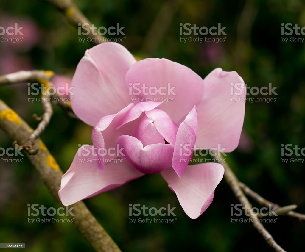 Pink magnolia tree flower royalty-free stock photo