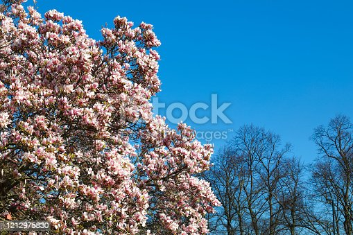 Gorgeous pink flowers of magnolia (Magnolia X soulangeana) offer themselves to a bright blue spring sky. In the background are bare trees still awaiting their spring leaves. Mitcham, Surrey, England.