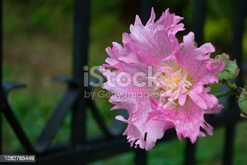 Pink mallow flower against the background of a blurred dark hedge in the garden