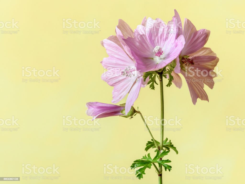 Pink mallow flowers with five petals on a green stalk with two leaves under a soft daylight against a yellow background stock photo