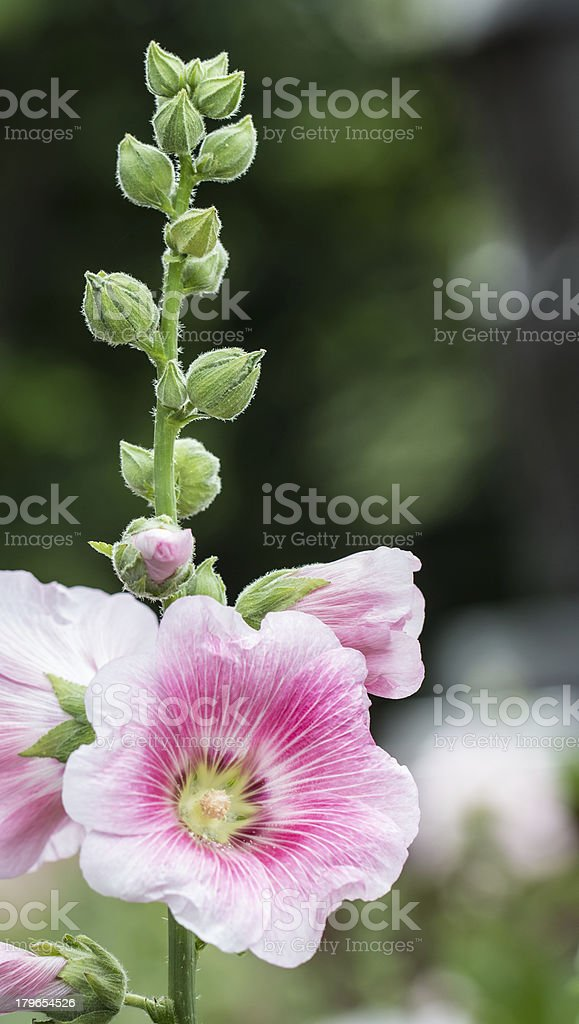 Pink mallow in Blurred Background with Young Flower Buds royalty-free stock photo
