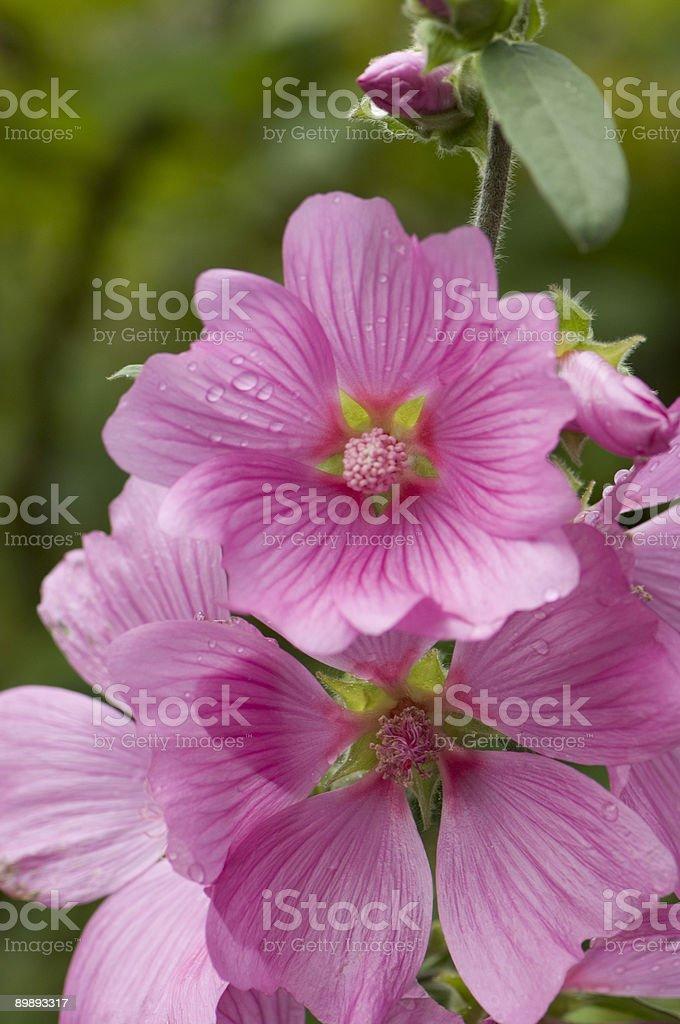 Pink Malva royalty-free stock photo