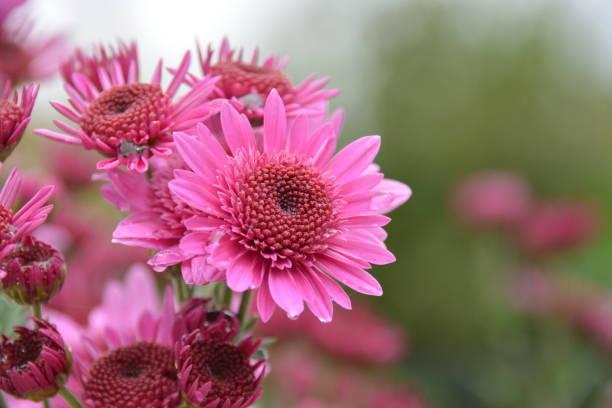 Margarita rosa en primer plano - foto de stock