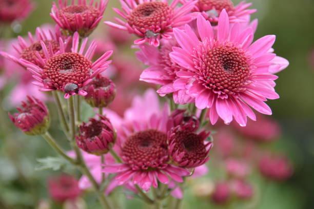 Margaritas rosas - foto de stock