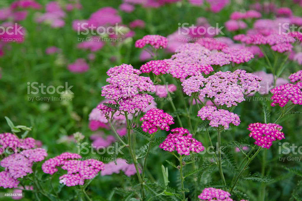 pink milfoil flowers stock photo