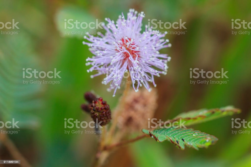 Pink Mimosa Pudica Flower Sensitive Plant Stock Photo More