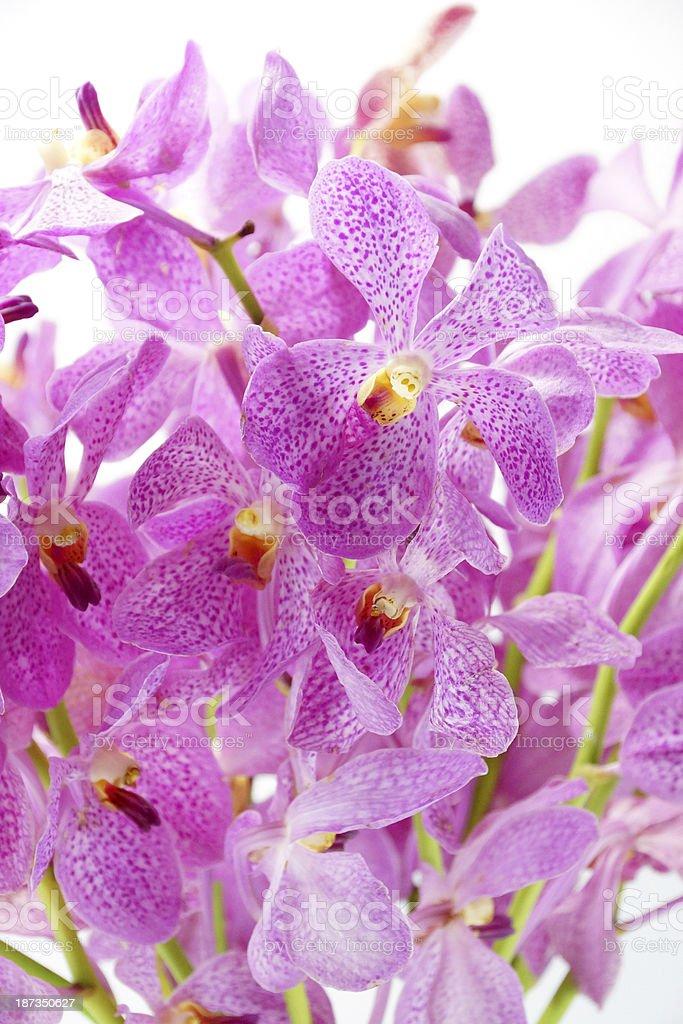 Pink mokara orchids isolated on white background. stock photo