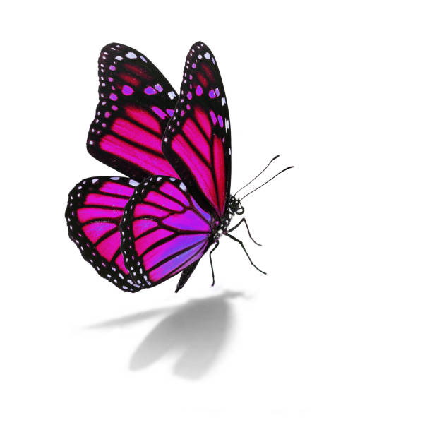 Pink monarch butterfly picture id664630142?b=1&k=6&m=664630142&s=612x612&w=0&h=wjryxyeg8xf5ar78gfbfegp1kedtjzyii1ydeq6t9hi=