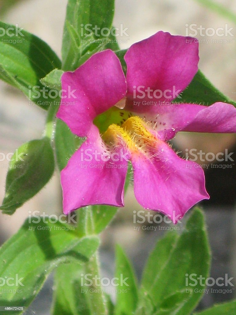 Pink Monkey Flower Filled With Pollen Stock Photo 486472425 Istock