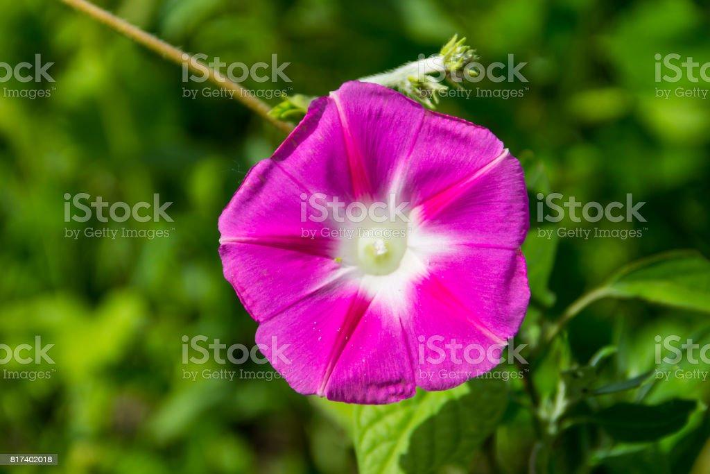 Miosótis-de-rosa no jardim - foto de acervo