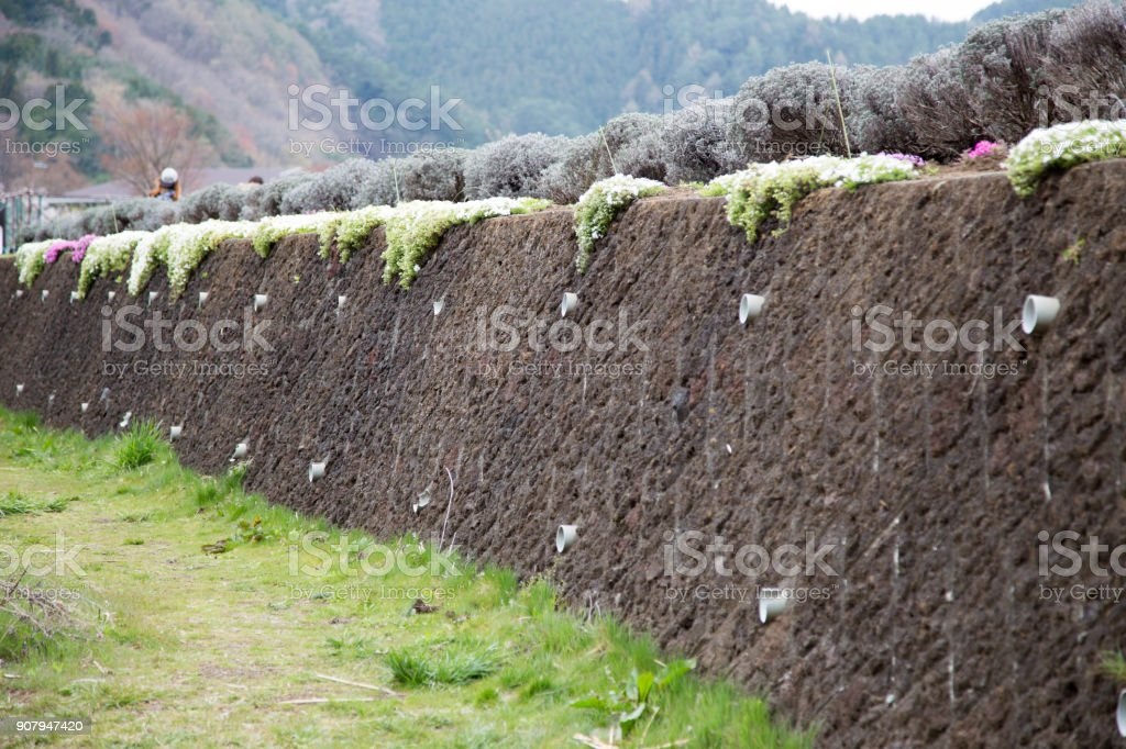 Pink moss on wall background at Kawaguchiko, Japan stock photo