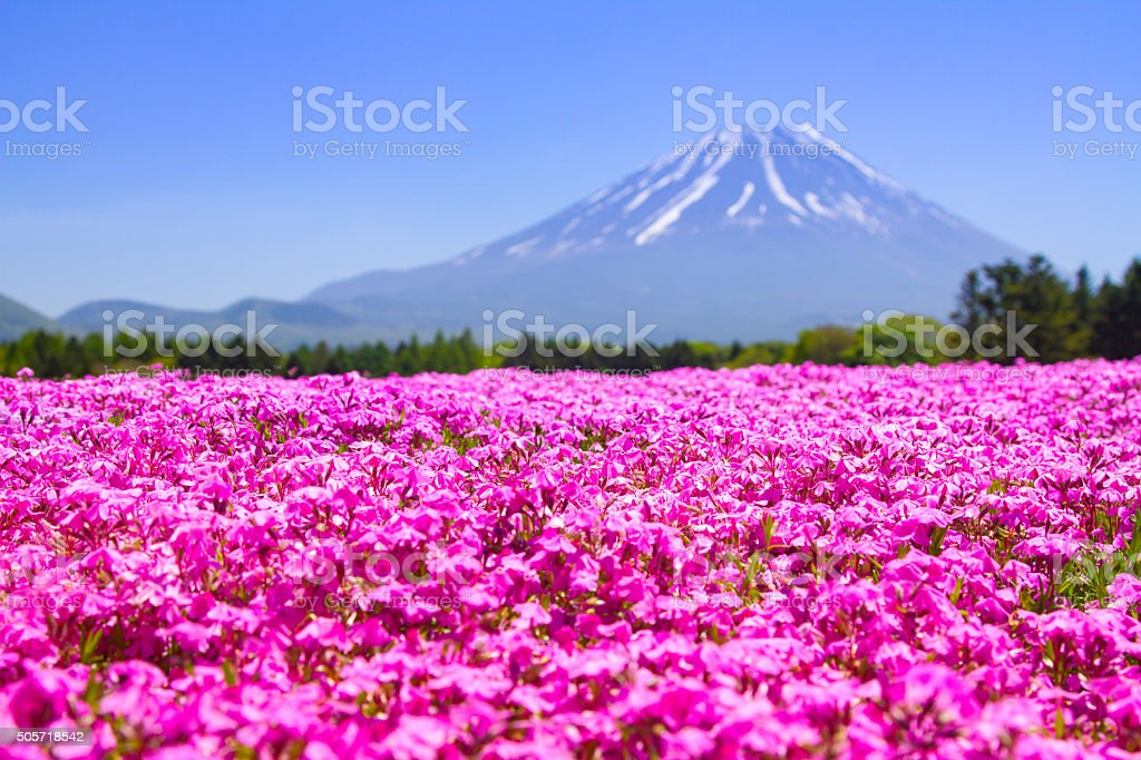 Pink moss phlox flowers and red of one side stock photo more pink moss phlox flowers and red of one side royalty free stock photo mightylinksfo