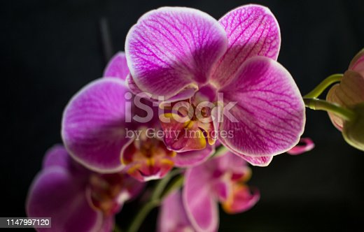 Orchid in front of black background
