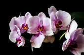 Moth Orchid on black background. Pink Phalaenopsis flower in full bloom. Romantic home interior detail.