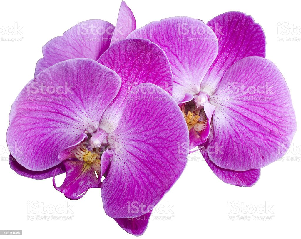 Pink Moth Orchid - Phalaenopsis royalty-free stock photo