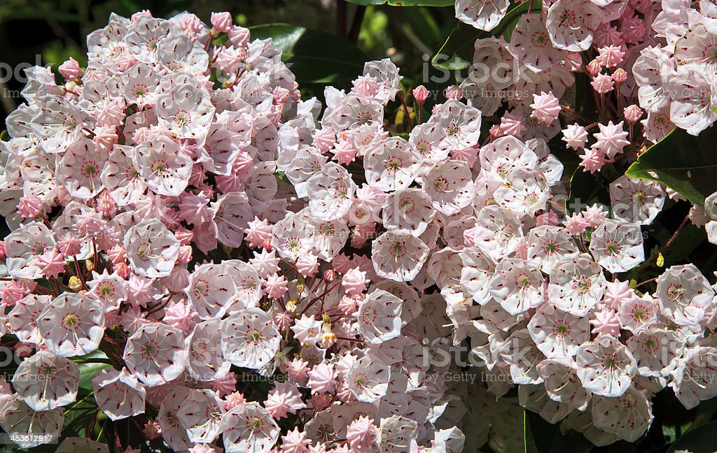 Pink Mountain Laurel royalty-free stock photo