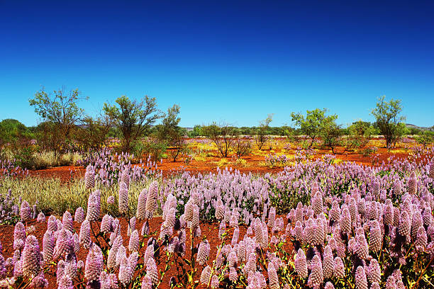 Pink Mulla Mulla Wildflowers blooming in Spring, Outback, Australia stock photo