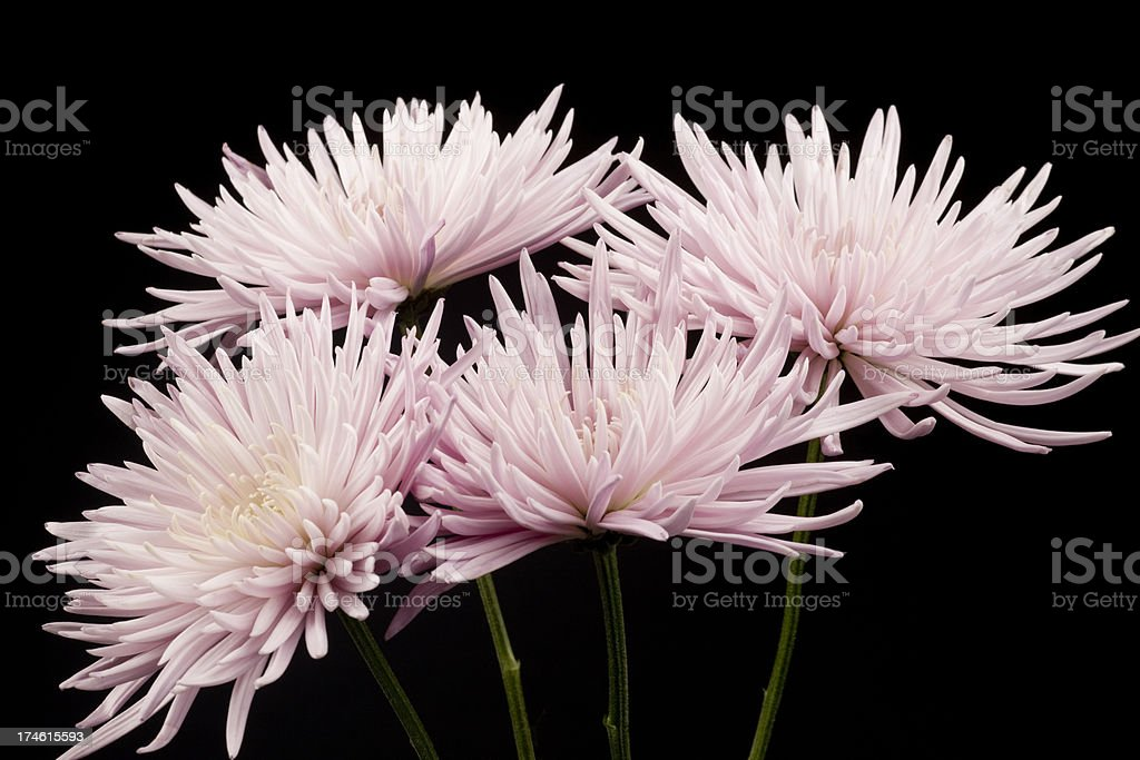 Pink Mum Flower Arrangement, Petal, Isolated on Black, Delicate royalty-free stock photo