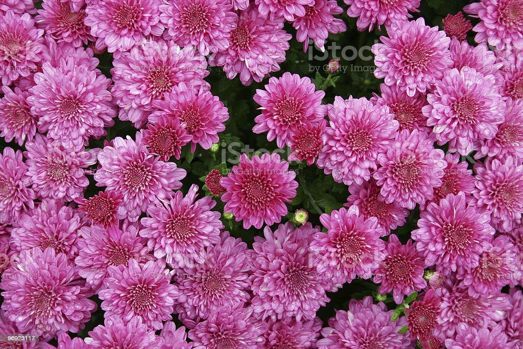 Pink Mums royalty-free stock photo