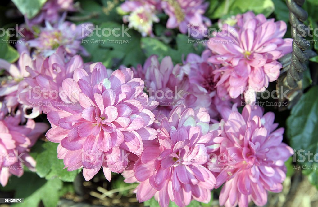 Pink mums royalty-free stock photo