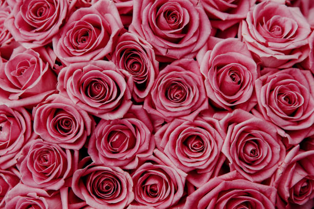 Pink natural roses background for wedding or valentine day top down picture id1150520862?b=1&k=6&m=1150520862&s=612x612&w=0&h=1sv0m9lbv6v f3edkmfizqb mjborr2zigf55vsvi3g=