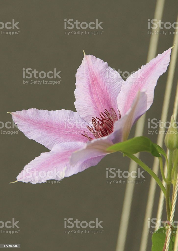 Pink 'Nelly Moser' royalty-free stock photo