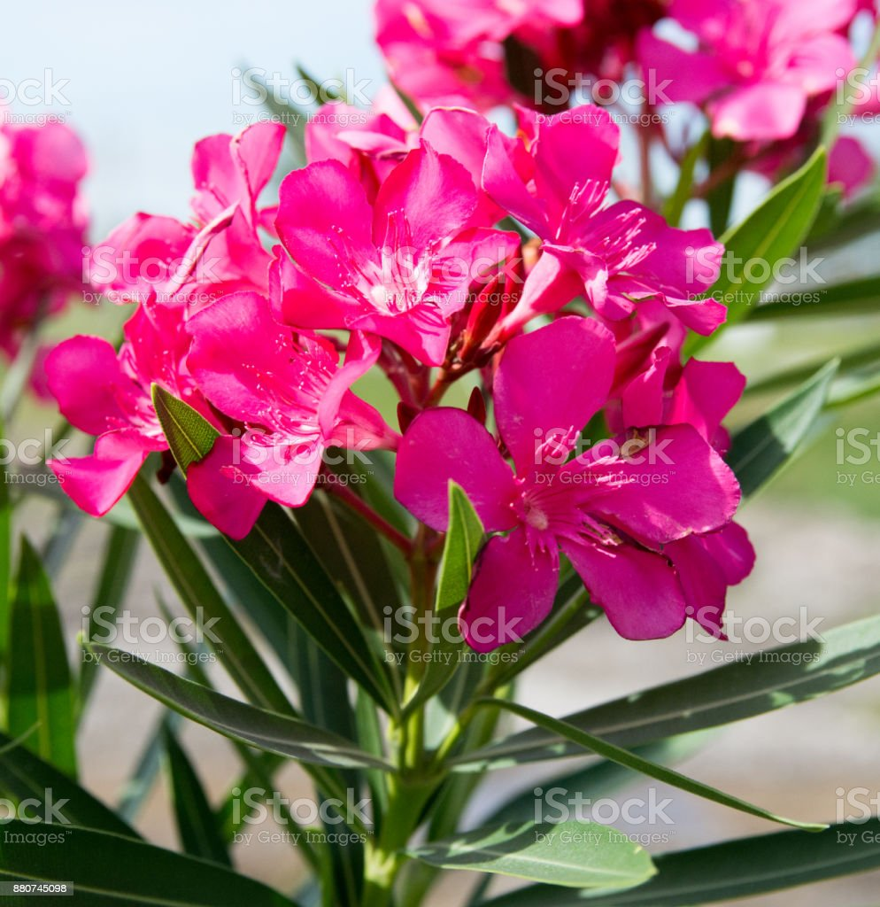Pink Nerium Oleander Flower In Nature Garden Stock Photo More