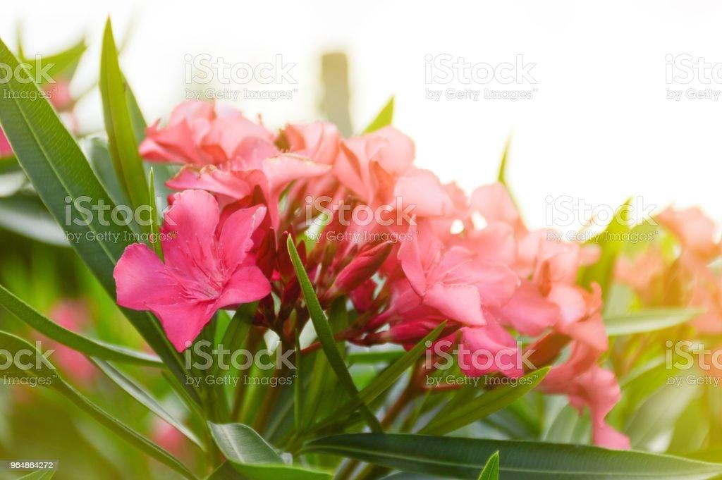 Pink Nerium Oleander Flower In Nature Garden Stock Photo More