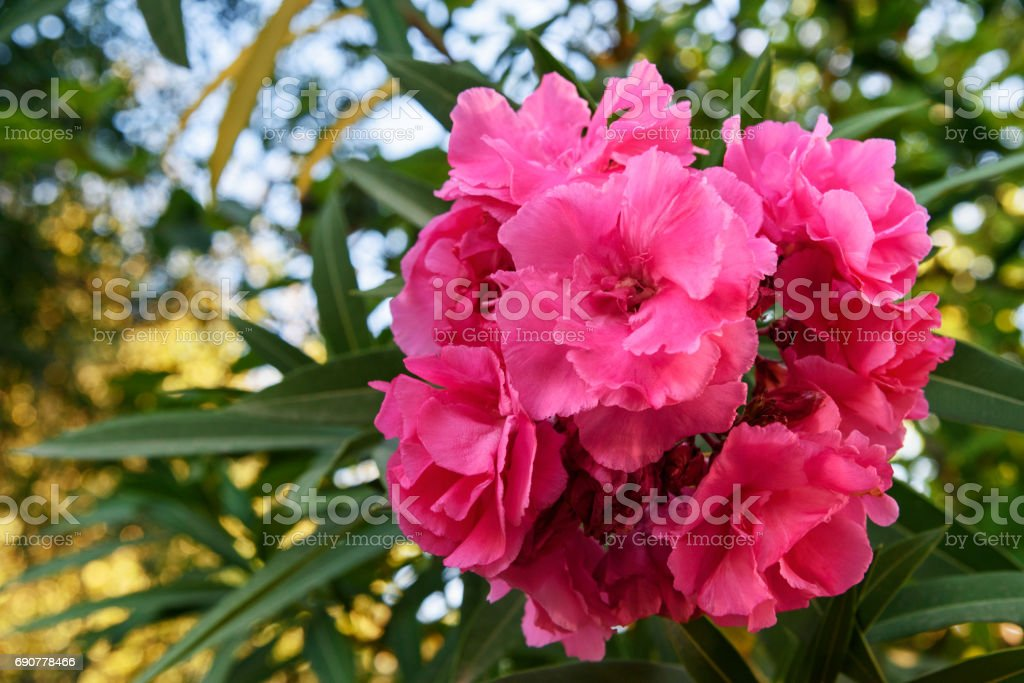 Pink Nerium Oleander Flower Stock Photo More Pictures Of