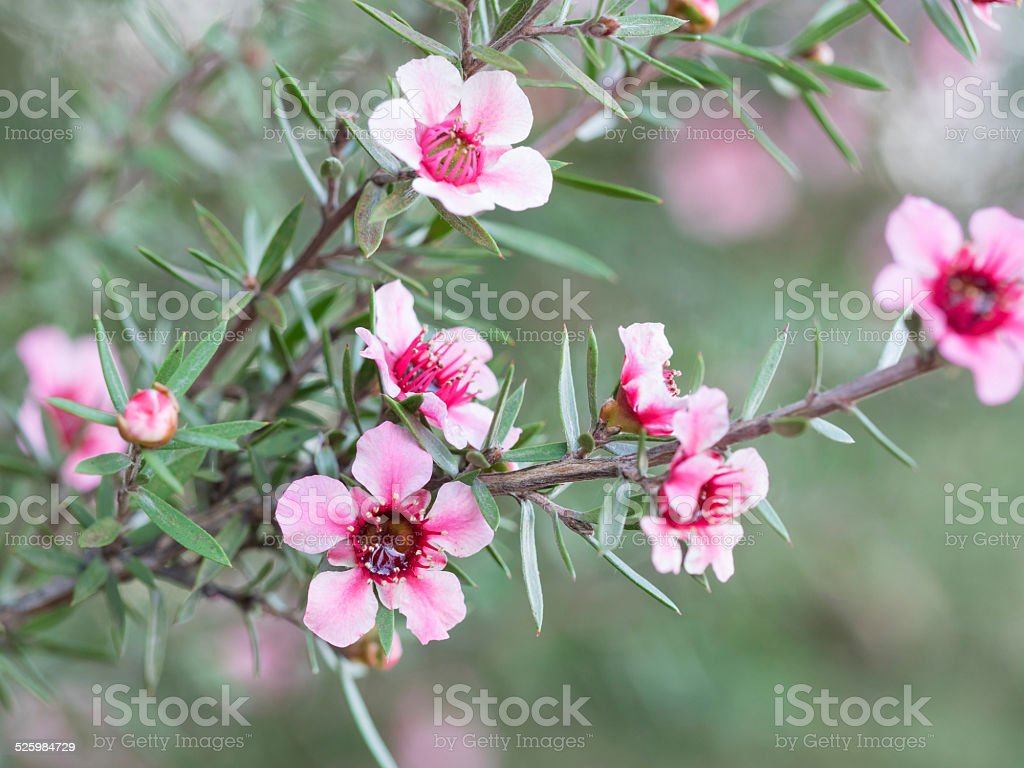 pink New Zealand teatree stock photo