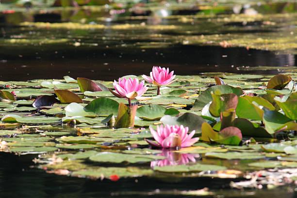 rosa nymphaea - masaniello foto e immagini stock