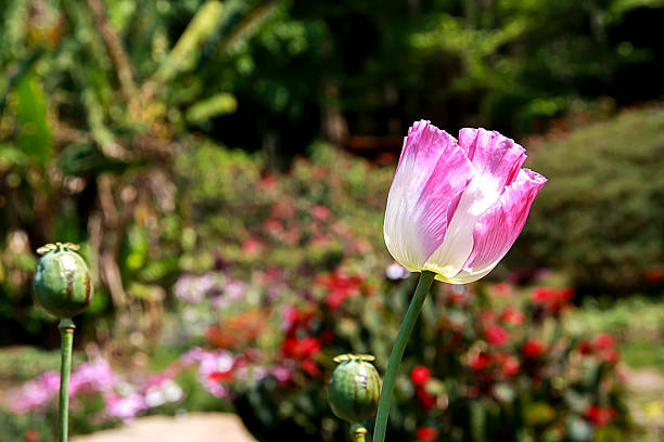 Royalty free poppy heroin opium poppy flower bulb pictures images pink of opium poppy flower in the garden stock photo mightylinksfo