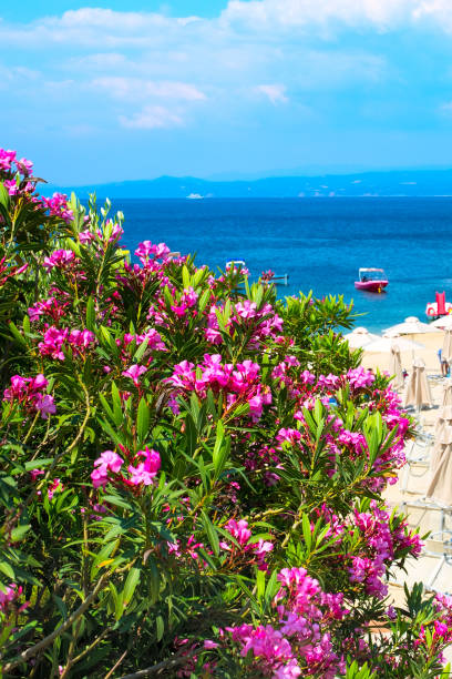Royalty free coastal flowers jersey pictures images and stock pink oleander flowers beach with umbrellas and the blue sea stock photo mightylinksfo