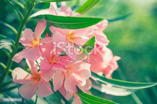 Pink oleander flowers in bloom in a garden.