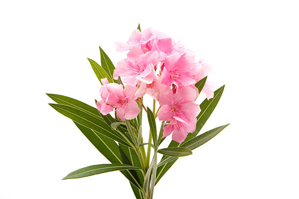 Pink oleander on white background stock photo