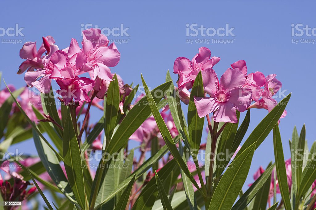 Pink oleander stock photo