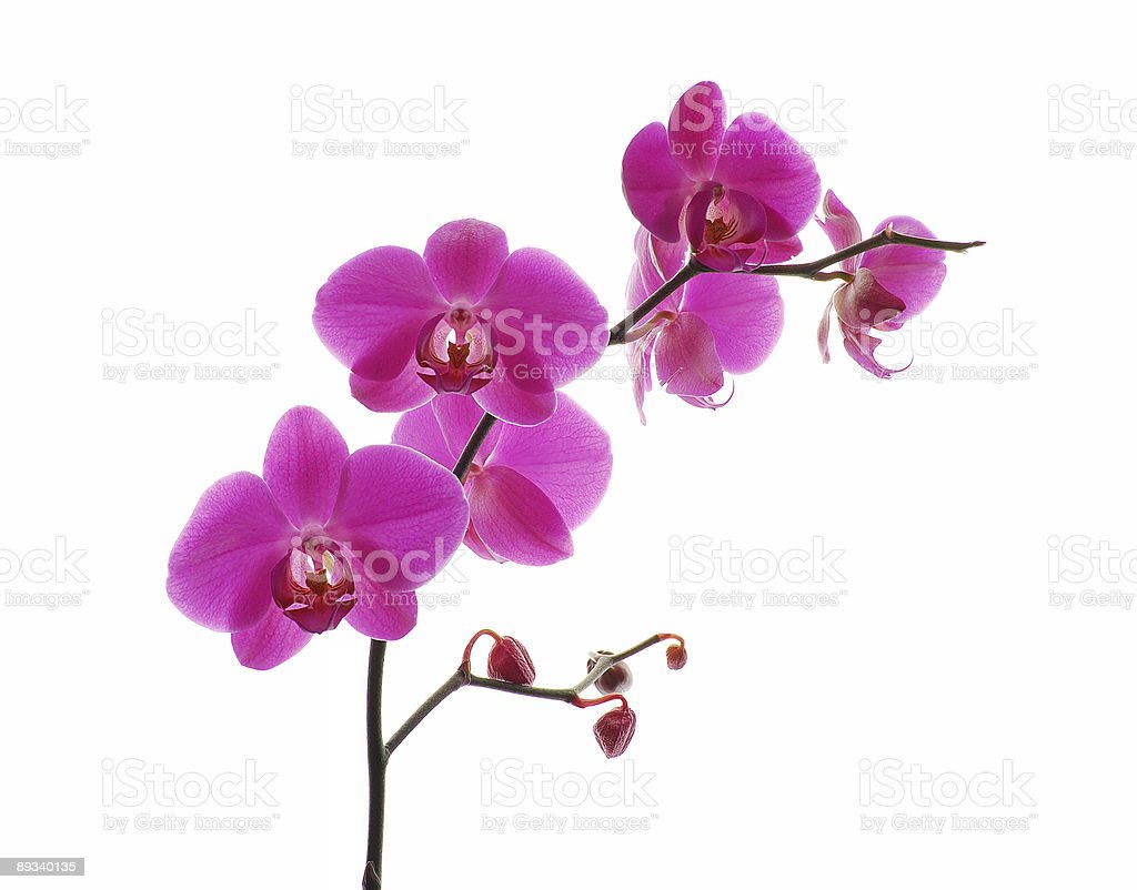 Pink orchid against white background