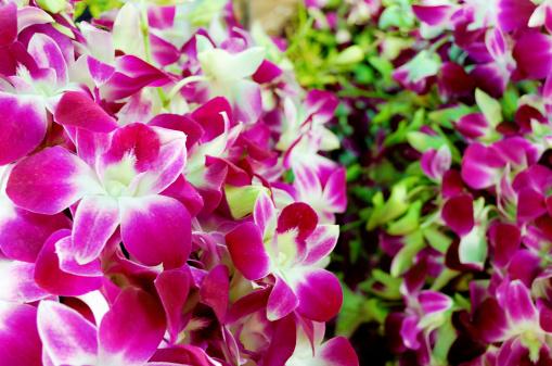 Bundles of pink magenta orchid bouquets, flower market.