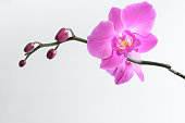 Pink orchid branch close up isolated on the white background
