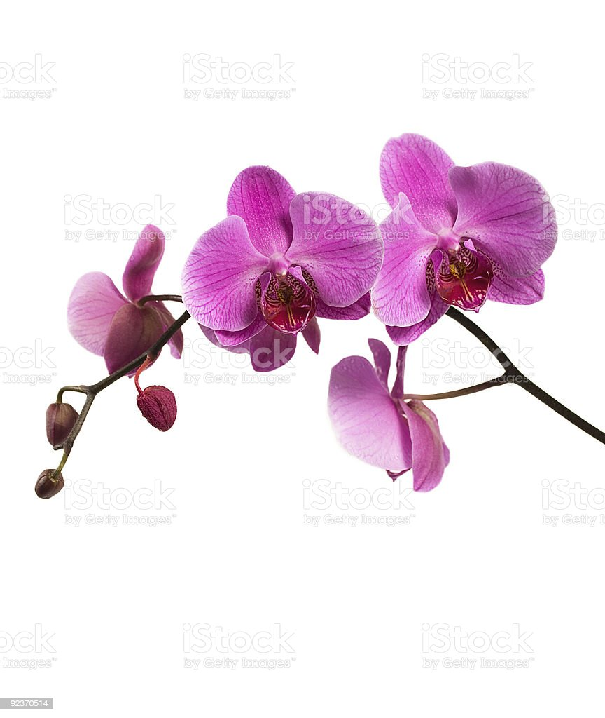 Pink orchid branch isolated royalty-free stock photo