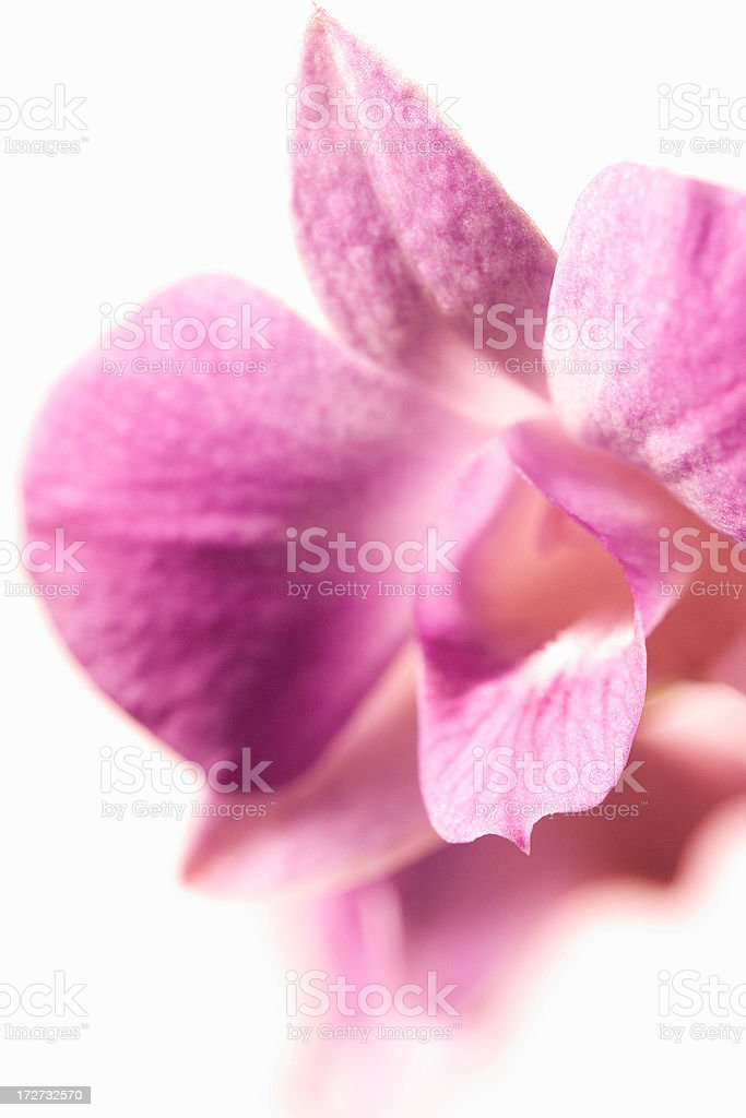Pink orchid close-up royalty-free stock photo