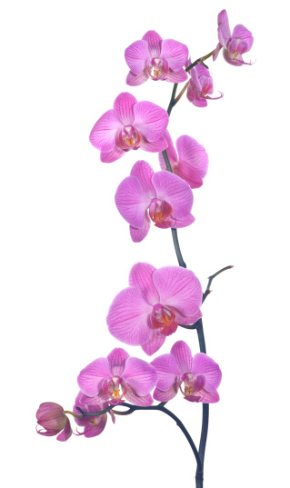 a sprig of pink orchids shot in a studio against a white background, carefully composed to present the flower heads in a pleasing formation. Carefully lit and taken with a macro lens for maximum detail.