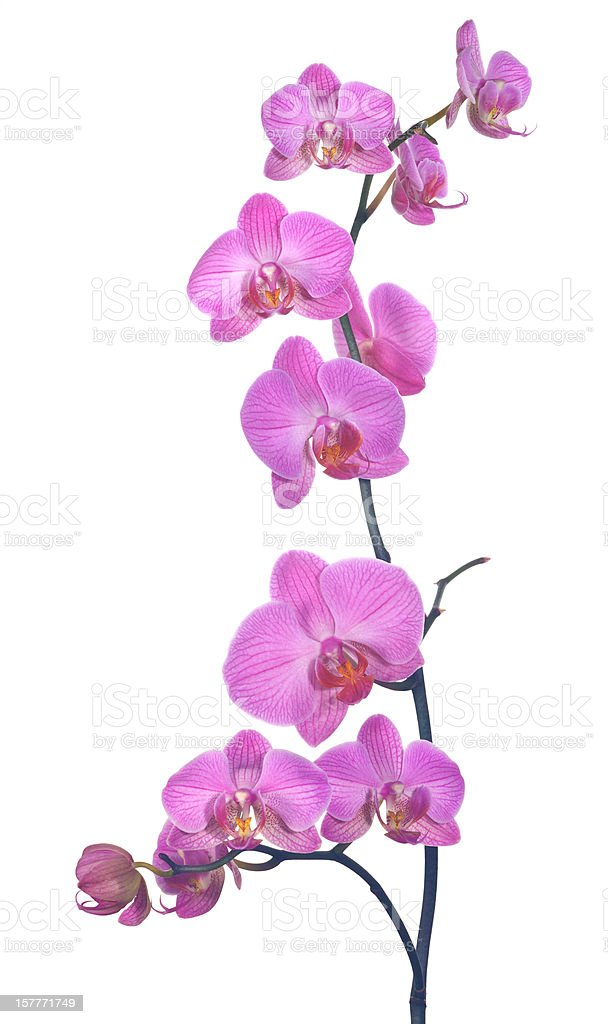 pink orchid composition stock photo