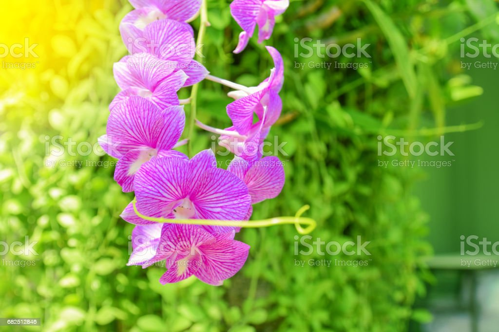 Pink orchid flower and green leaves background in the garden. Orchid is considered the queen of flower . Стоковые фото Стоковая фотография