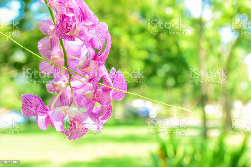 Rosa Orchidee Blume und grüne Blätter Hintergrund im Garten. Orchid gilt als die Königin der Blumen. Lizenzfreies stock-foto