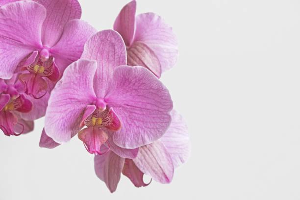 rosa Orchidee Blumenblüte mit weißem Hintergrund – Foto