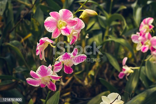 Pink orchid flower in tropical garden background in Thailand. Use for postcard beauty and agriculture idea concept design.